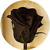Вечная роза Черная цветы и растения срезанные живые., фото 2
