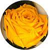 Вечные розы Оранжевый цетрин, фото 2