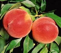 Саджанці персика Ред Хевен