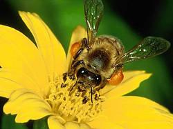 Аскосфероз — инфекционная болезнь медоносных пчел