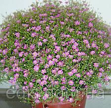 Гипсофила розовая 1,0 г семена, семена Яскрава
