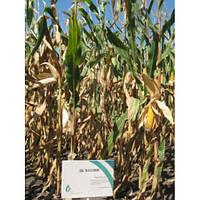 Семена кукурузы ДБ Хотин (ФАО 250)