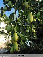 фрукт унаби купити київ