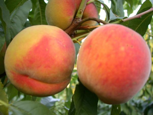 Саджанці персика Вайн Голд Т-3