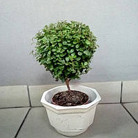 Горшечное растение  Мирсина Африканская