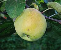 Яблоня Путивка (ММ.106) Поздне летний сорт.    , фото 1