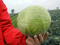 СКИФ F1 - семена капусты белокочанной, CLAUSE