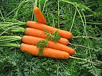 САТУРНО F1 - семена моркови, CLAUSE