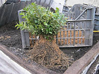 Продажа черенков и саженцев самшита. Возможно выращивания под заказ ( 50% стоимости), фото 1