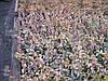 Продажа черенков и саженцев бересклета. Возможно выращивания под заказ ( 50% стоимости)