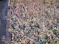 Продажа черенков и саженцев бересклета. Возможно выращивания под заказ ( 50% стоимости), фото 1