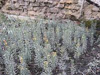 Продажа черенков и саженцев тиса. Возможно выращивания под заказ ( 50% стоимости)