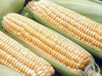 Семена кукурузы Днепровский 257 СВ ФАО 290