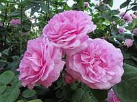 Чайная роза  ( саженцы )