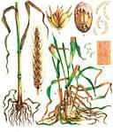 Фузаріоз на зернових