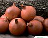 Семена лука Мэлори F1 250000 семян (прецизионные) Bejo