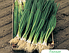 Семена лука на перо Параде 10000 семян Bejo