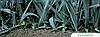 Семена лука порей Колумбус 10000 семян Bejo