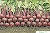 Семена свеклы Водан F1 50000 семян Bejo