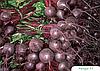 Семена свеклы Ронда F1 50000 семян Bejo
