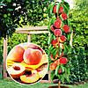 Саженцы персика колоновидного МЕДОВЫЙ (двухлетний) среднего срока созревания