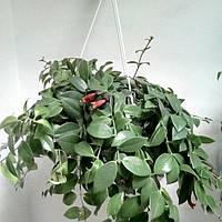 Горшечное растение Эсхинантус