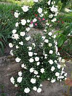 Красивая почвопокровная роза Swany