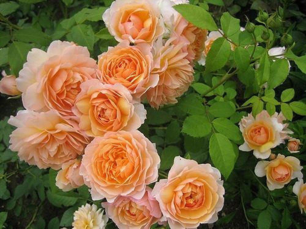 Картинки по запросу роза грейс