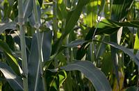 Семена сорго сахарного СС 506, 120-125 суток
