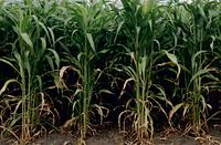 Семена сорго СУ, 115-120 суток