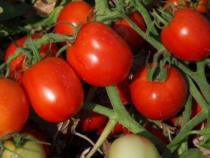 Аксель F1 - семена томата, Esasem