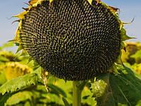 Семена гибрида подсолнечника Солтан под Гранстар