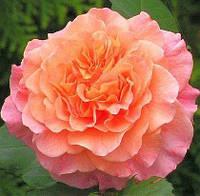 Роза Westerland (Вестерленд), корень ОКС