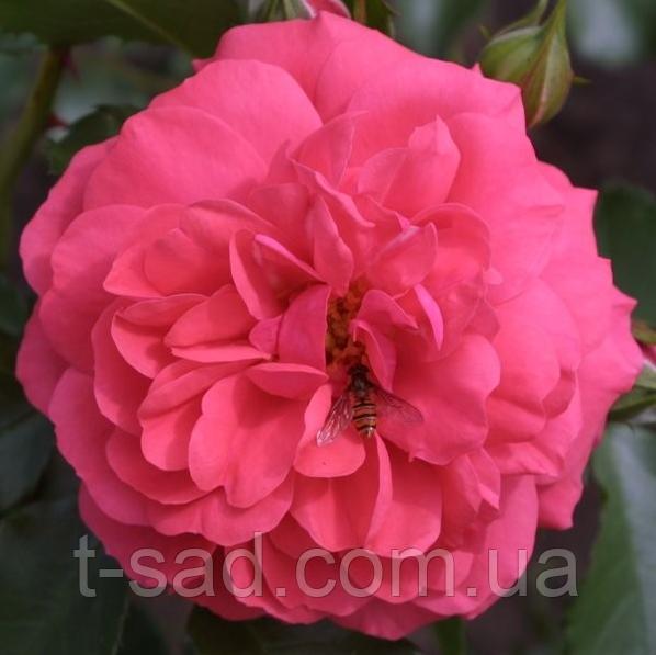 Роза Rosarium Uetersen (Розарий Ютерсен), корень ОКС