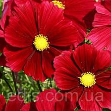 Космея Низкорослая Ярко-красная 0,15 г, семена Яскрава