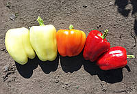 САЛАНА  F1 - семена сладкого перца, SAKATA