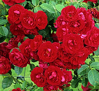Плетистая роза Flammentanz (Танец пламени), корень ОКС