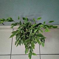 Горшечное растение Фикус Бенджамина