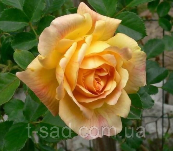 Роза плетистая Michka (Мишка), корень ОКС