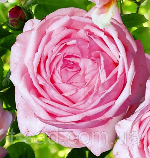 Роза Nahema (Нахема), корінь ОКС