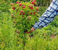 Саджанці малинового дерева Здоровань (Крепиш)