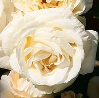 Роза Schneewalzer (Снежный вальс), корень ОКС