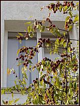 """Зизифус китайский  сорт """" Коктебель""""\ Унаби ( саженцы 2 года ) отводки от маточника, фото 3"""