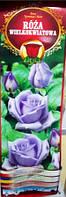 Троянда великоквіткова Blawatek