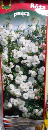 Троянда плетиста White Dawn