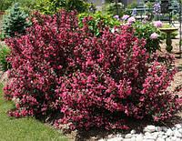 Вейгела цветущая Нана Пурпуреа черенок с корнем в кассетах