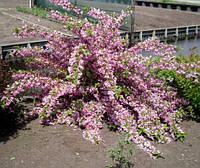 Вейгела цветущая `Пинк Принсесс
