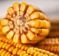 Семена кукурузы насіння кукурудзи гібрид Кобза МВ (ФАО 350) F1.