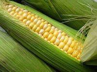 Семена кукурузы насіння кукурудзи гібрид Корунд (ФАО 260) F1