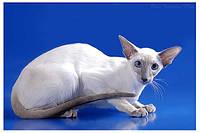 Сиамские, ориентальные котята в экстремальном типе